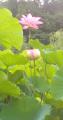 紅白の蓮の花.jpg